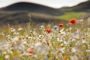 Red poppies, cornflowers, daisies and other ruderal species colonize abandoned cultivated fields in the Central Apennines rewilding area in Italy.