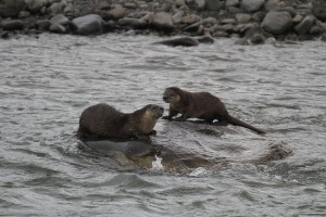 River otter pair in the Lamar River, Yellowstone National Park.