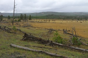 How many natural processes can be seen here: impact of natural fire, dead wood in the ecosystem, spontaneous forest regeneration, natural grazing keeping land open, and natural fire prevention by bison?