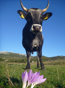 A curious cow and Colchicum autumnale