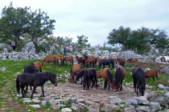 Releasing the Bosnian Mountain horses