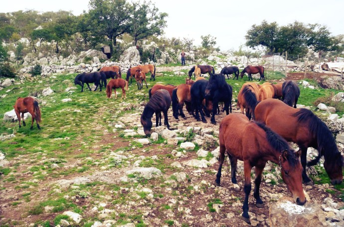 Bosnian mountain horses now reinforce the wild-living herd in Velebit