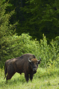 European bison, Bison bonasus, in Southern Carpathians, Romania.
