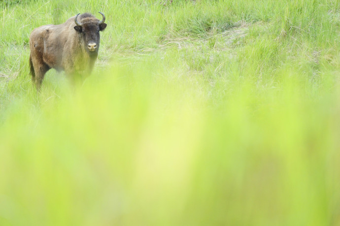 European bison in the Tarcu Mountains nature reserve, Southern Carpathians, Romania. May 2014.