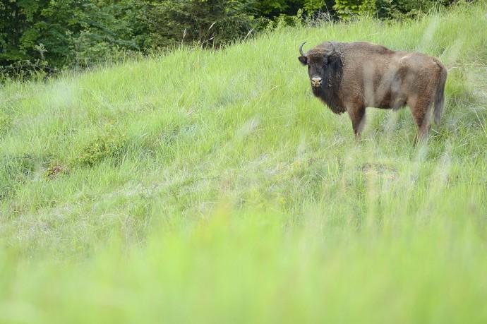 European bison in the Tarcu mountains.