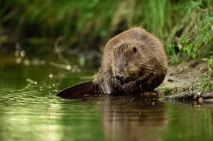 Beaver in the Peene valley, Anklam, Germany