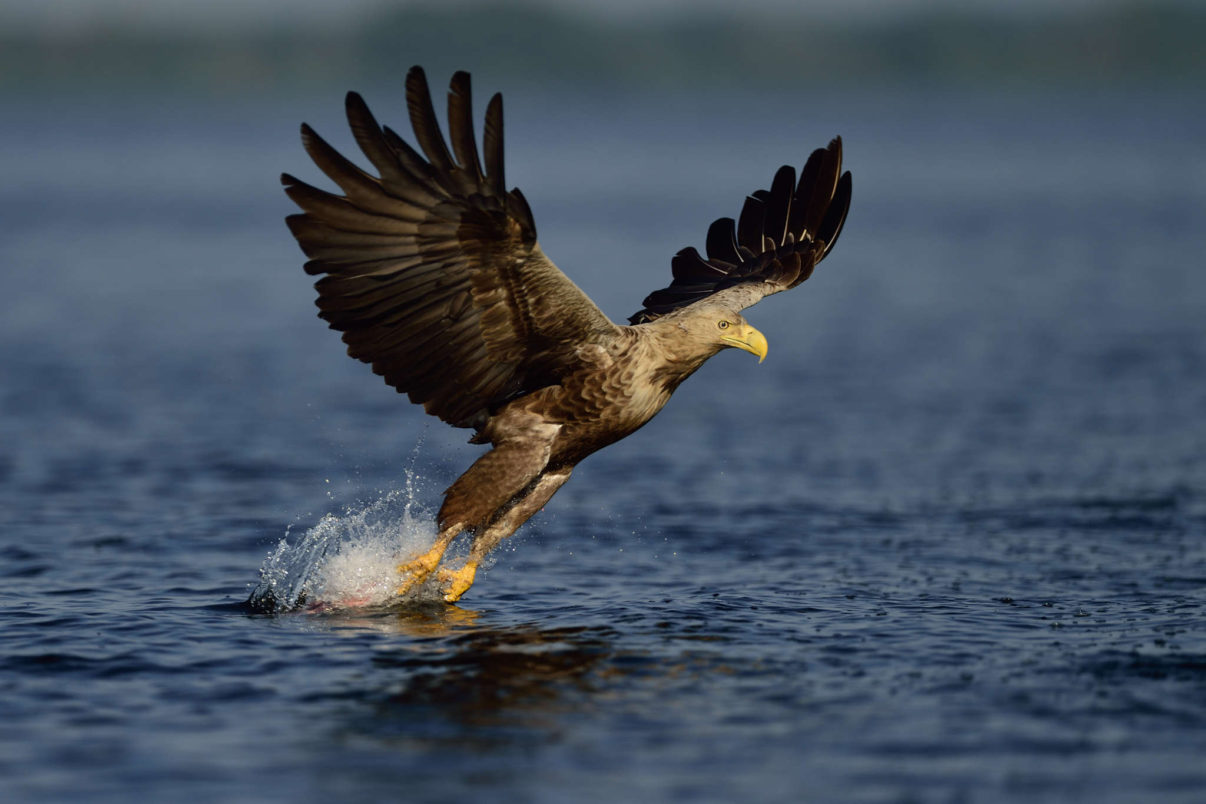 White-tailed eagle, Haliaeetus albicilla, from fishing boat, on sea eagle safari tours in the Stettin lagoon, Poland, Oder river delta/Odra river rewilding area, Stettiner Haff, on the border between Germany and Poland