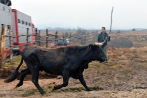 The Sayaguesa cattle herd is arriving to Velebit.