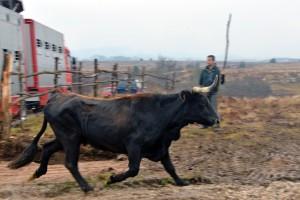 The Sayaguesa cattle herd is arriving to Velebit.