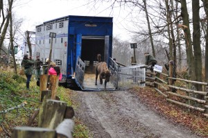 The arrival of the bison to the Eastern Carpathians rewilding area.