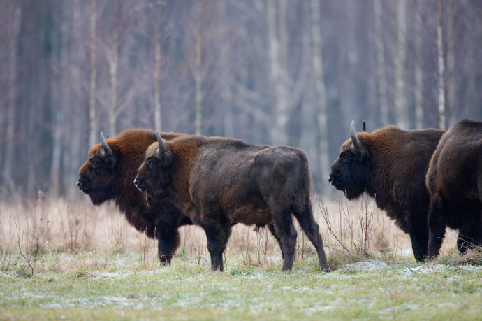 European bison in the Bieszczady Mountains.