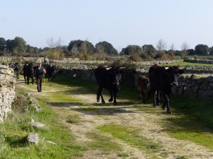 The Sayaguesa herd in Velebit.