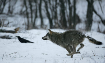 The newest ERN member, Large carnivores monitoring – conservation project from Czech Republic, supports the natural recovery of wolves, lynx and bears in the Western Carpathians.