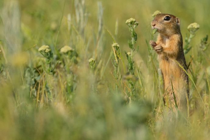 Suslik or European ground Squirrel, Eastern Rhodope mountains, Bulgaria.