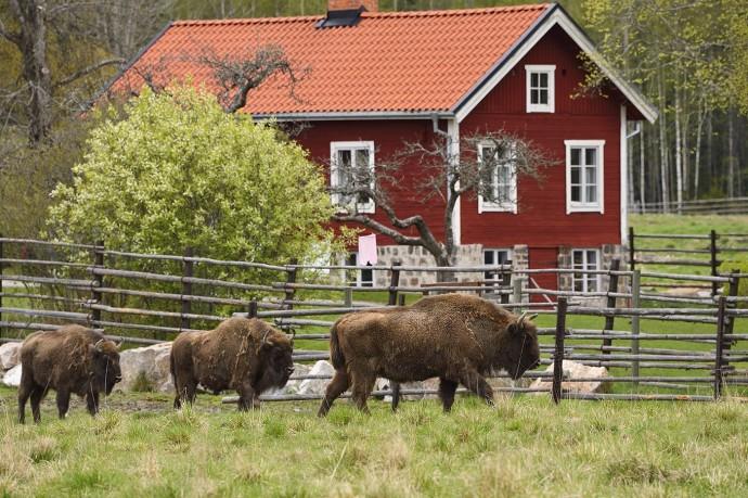 European bison in the Avesta Visentpark, Sweden.