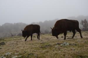 European bison in Studen Kladenets reserve, Eastern Rhodopes.