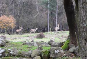 Red deer in Studen Kladenets reserve, Eastern Rhodopes, Bulgaria.