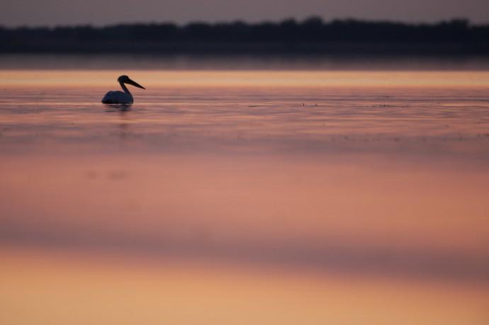 White Pelican (Pelecanus onolocratus) in the Danube Delta, Romania.