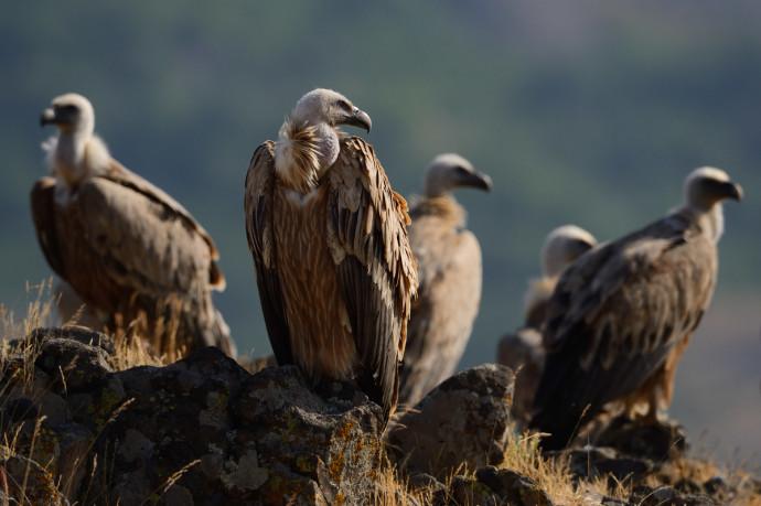 Griffon vulture, Gyps fulvus, Madzharovo, Eastern Rhodope mountains, Bulgaria