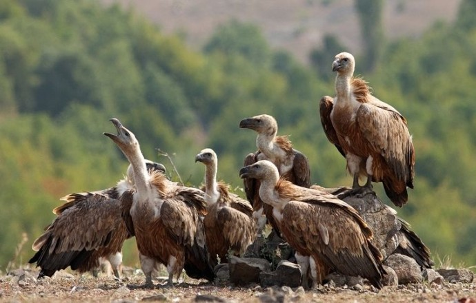 Resting griffon vultures, Gyps fulvus, near Valchi Dol nature reserve,  Rhodope Mountains, Bulgaria.