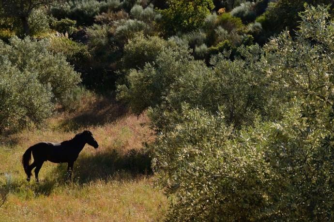 Wild horses, Garrano horses living wild in the Faia Brava reserve, Coa valley, Portugal, Western Iberia rewilding area