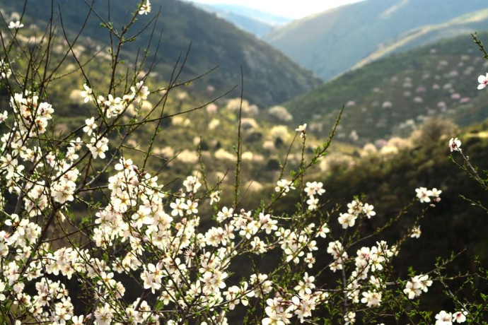 A white coat covers the Côa valley, as almond trees bloom.