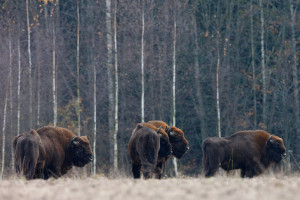 Group of Bison in Bieszczady Mountains, Eastern Carpathians, Poland.