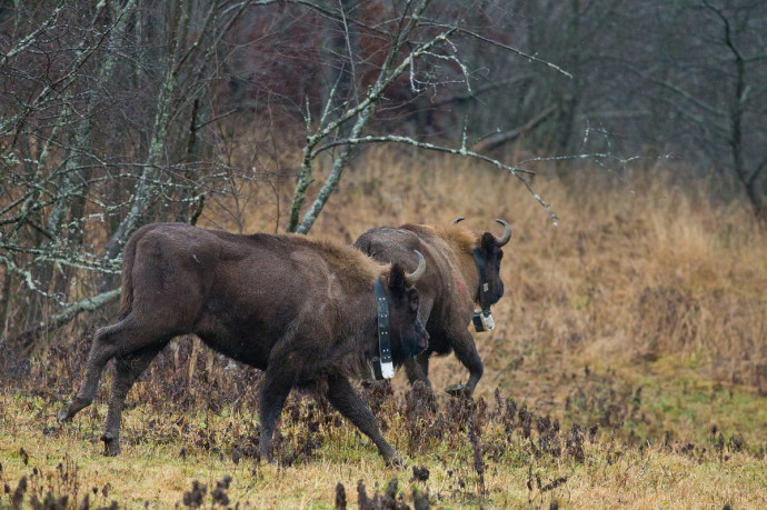 The release of European bison into the wild in the Eastern Carpathians rewilding area in December 2014.