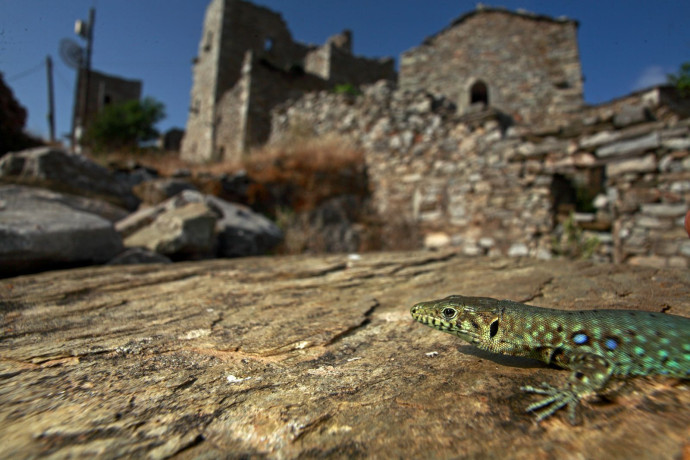 Peloponnes Wall Lizard (Podarcis peloponnesiacus), an endemic species on the Peloponnes, Greece.