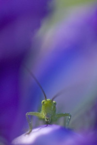 Great Green Bush Cricket, Gargano National Park, Italy.