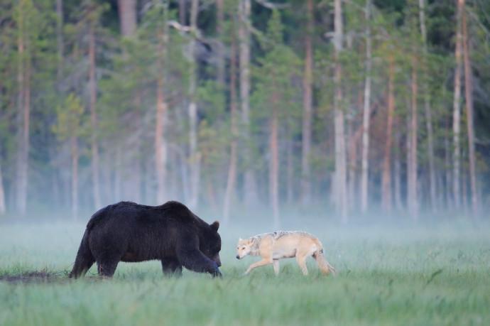 European wolf interacting with European brown bear in Kuhmo, Finland.