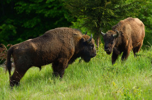 First group of European bison arrived to the Southern Carpathians rewilding area in May 2014.