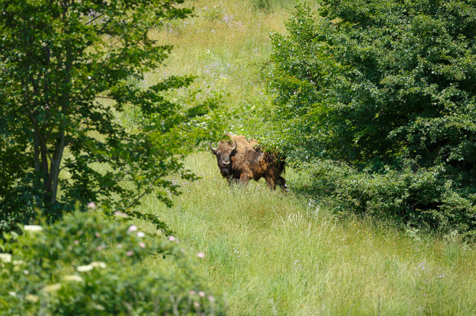 First free European Bison in Romania grazing in the Tarcu Mountains plane, Sounthern Carphatians rewilding area, Romania / Photo by Catalin Georgescu