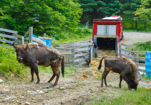 Arrival of new Bison herd to Southern Carpathians rewilding area, Romania / Photo by Catalin Georgescu