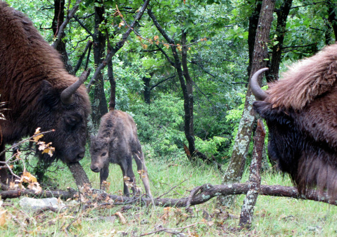 The newborn bison calf and its parents in Rhodope Mountains rewilding area.