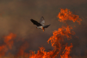 Natural fires are important element in certain European ecosystems.