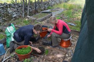 Transplanting cork oak seedlings