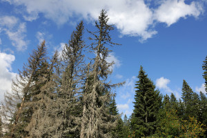 Bark beetles can open up forests, like in North Velebit National Park, Croatia.