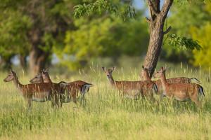 Wild, native original Fallow deer, Dama dama, Studen Kladenets Reserve, Rhodope mountains, Bulgaria