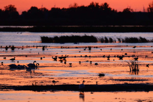 Mute swan, waterfowl, ducks and swans in the Oder Delta rewilding area on the border between Germany and Poland.