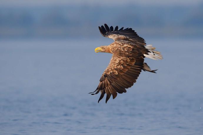 One of Oder Delta's 'Big Seven' - white tailed eagle (Haliaeetus albicilla) Poland, Oder Delta rewilding area