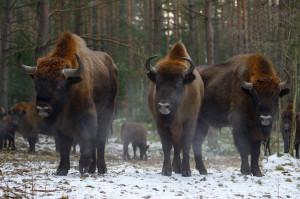 European bison in Western Pomerania, Poland, Oder Delta rewilding area.