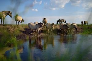 Wild konik horses in the Oder Delta rewilding area.