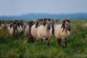 Wild konik horses in Stepnica, Oder delta rewilding area on the Polish side.