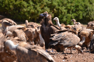 Black vultures and Griffon vultures from one of the photography hides in Boumort, Spain.