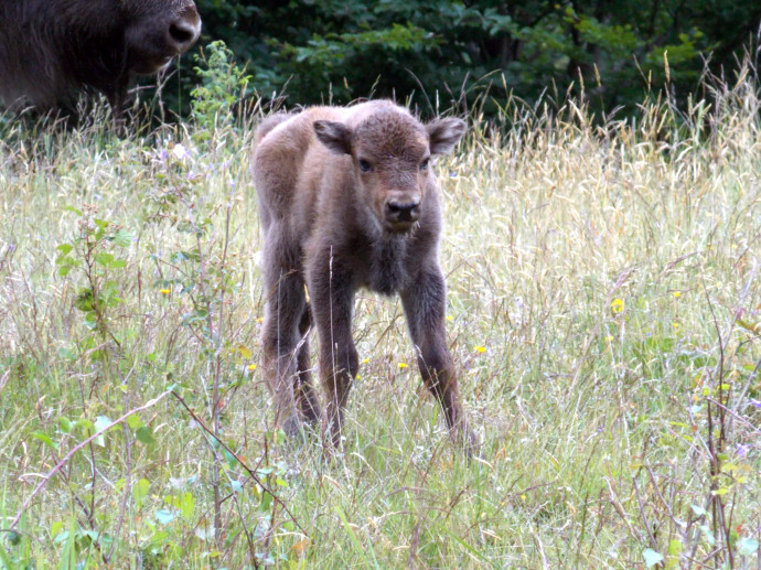 Bison calf born in the wilderness of Tarcu Mountains, Southern Carpathians rewilding area, on 20th June 2015.