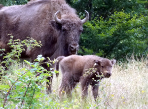 Mother and newborn calf exploring the Tarcu Mountains, Southern Carpathians, Romania.