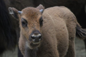 Bull calf born in June 2015 in the Southern Carpathians rewilding area, Romania.