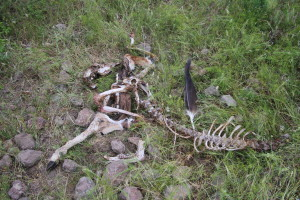 Remains of a fallow deer taken down by a wolf, and being scavenged by griffon vultures - proven by a primary feather that was dropped by the bird in Rhodope Mountains, Bulgaria.