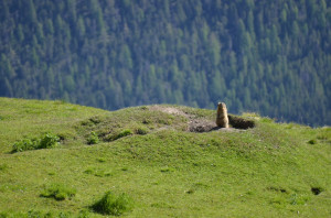 "The Alpine marmot (Marmota marmota) is common in the Swiss Alps between 2500 and 10,000 feet in elevation. One can often see an Alpine marmot ""standing"" while they keep a look-out for potential predators (such as golden eagles) or other dangers."